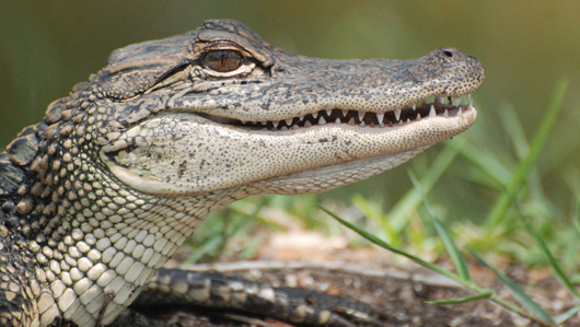 alligator single parents Following the animal parenting stereotype  these stereotypes portray animal mothers as being single parents,  alligator protects her young for a year or.