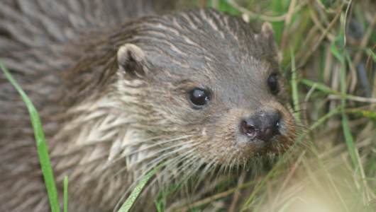 Otter (Eurasian, European or Common)'s