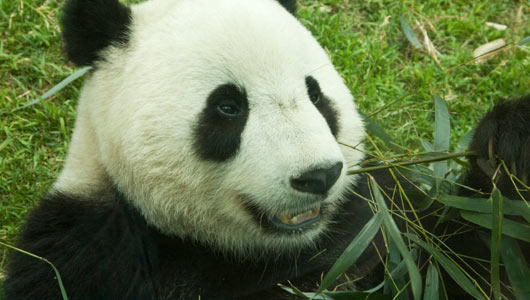 fun facts about endangered pandas essay