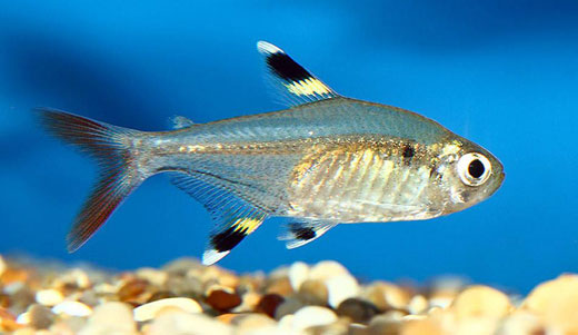 X-ray Tetra Drawings Facts About X-ray Tetras