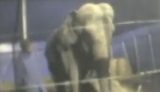 Anne the elephant at the circus