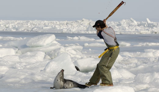 seal hunt debate Best answer: seal hunting, or sealing, is the personal or commercial hunting of seals for their pelts, blubber, and meat as well as to ensure the.