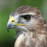 Close up of buzzard's face