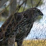 Goshawk caught in cage