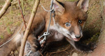 Time to ban snares