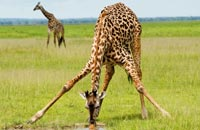 Giraffe Facts   What's the Tallest Animal in the World?