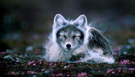 artic-fox-wiki-commons