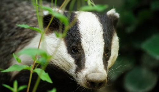 Badger (European)