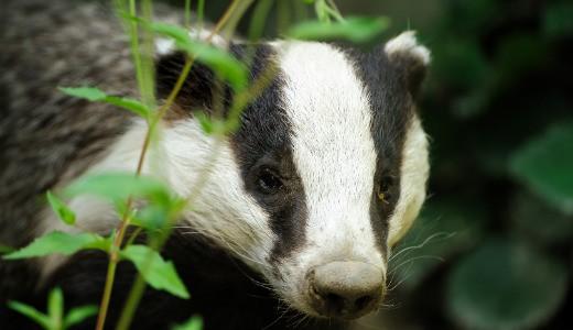 Badger (European)