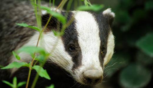 badger_european