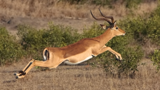 Impala Animal | www.pixshark.com - Images Galleries With A ...