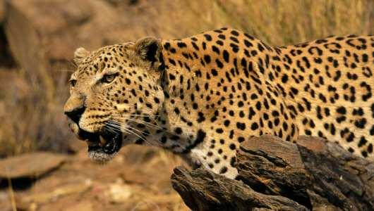 Amazing Facts about Leopards | OneKindPlanet Animal ... - photo#34