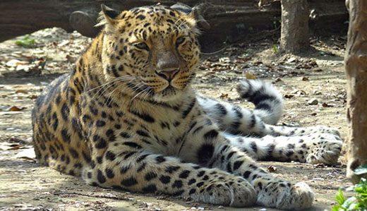 Amur Leopard - endangered animals