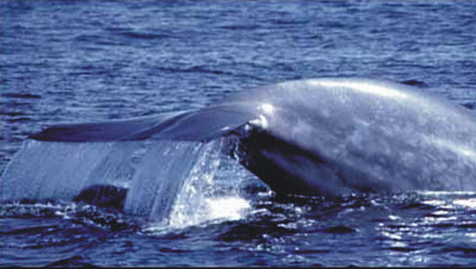 amazing facts about the blue whale onekindplanet animal education