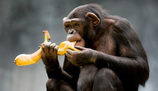 az-chimpanzee