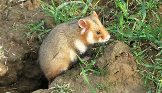 az-hamster-agnieszka-szelag-wikimedia