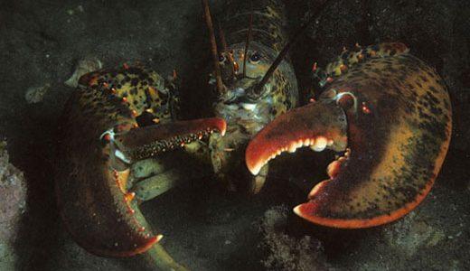 az-lobster2