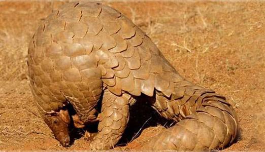 Amazing Facts About Pangolins Onekindplanet Animal