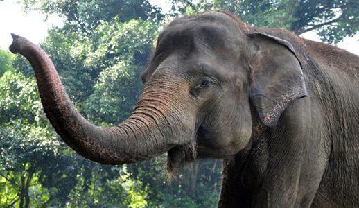 az-sumatran-elephant-small