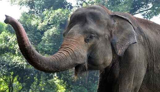 Critically Endangered Sumatran Elephants - YouTube |Sumatran Elephant Endangered
