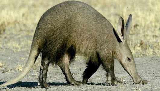 Image result for aardvark