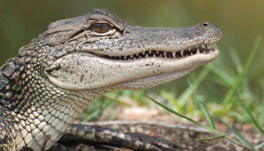az_alligator