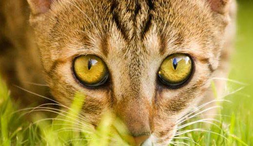 az_cat