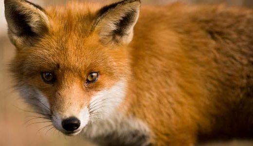az_fox