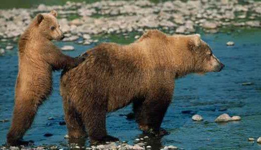 az_grizzly-bear