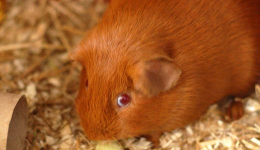 az_guinea_pig