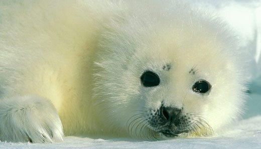 az_harp_seal_baby