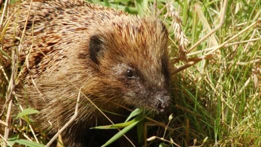 Hedgehog (European)