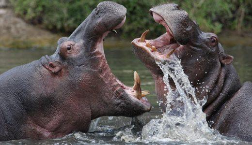az_hippos1