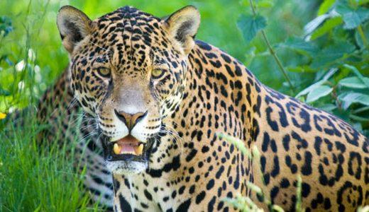 az_jaguar1