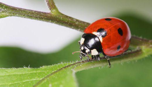 az_ladybird
