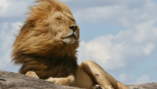 Amazing Facts About Lions Onekindplanet Animal Education Facts