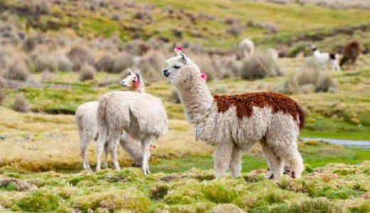 az_llamas