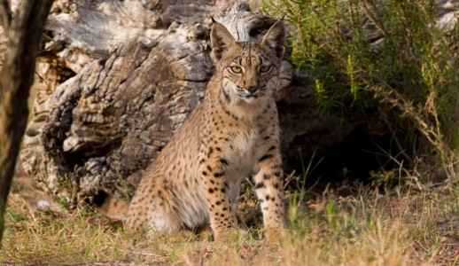 Lynx (Eurasian)