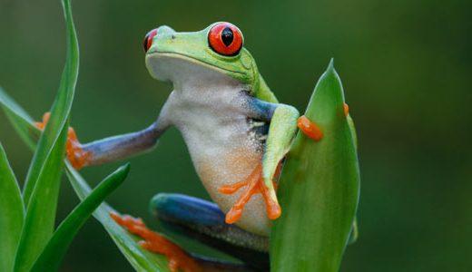 az_red_eye_tree_frog