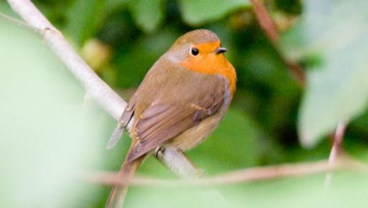 Robin (European)