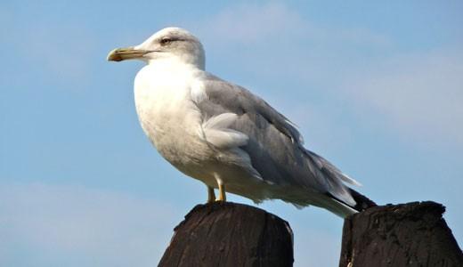 amazing facts about seagulls onekindplanet animal education facts