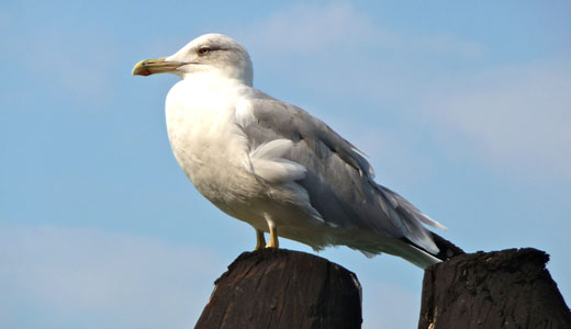 Amazing Facts about Seagulls | OneKindPlanet Animal Education & Facts
