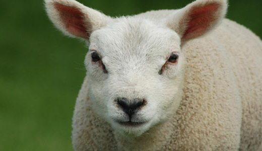 az_sheep