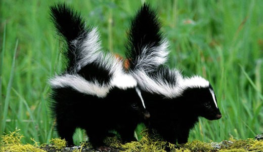 Amazing Facts about Skunks OneKindPlanet Animal Education Facts