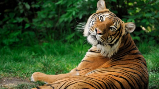 Amazing Facts About Tigers Onekindplanet Animal Education