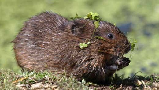 Water Vole (European)