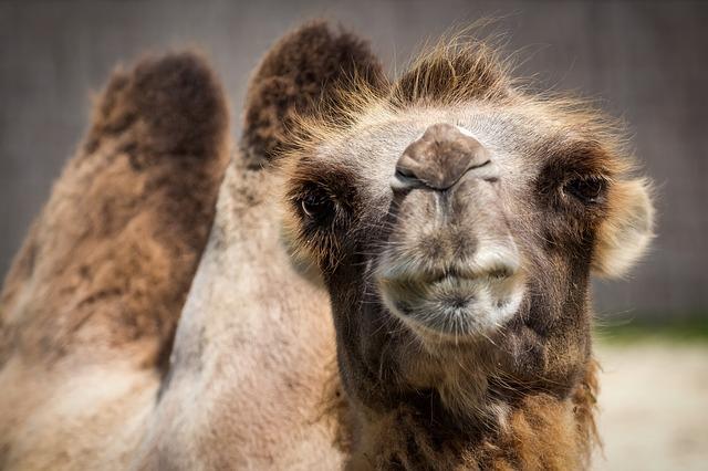 Camel Amazon price