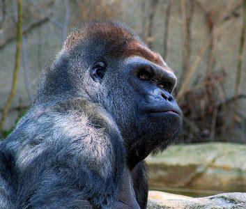 gorilla-kabir-bakie