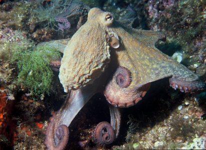 octopus-vulgaris-albert-kok
