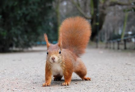 red-squirrel-ray-eye